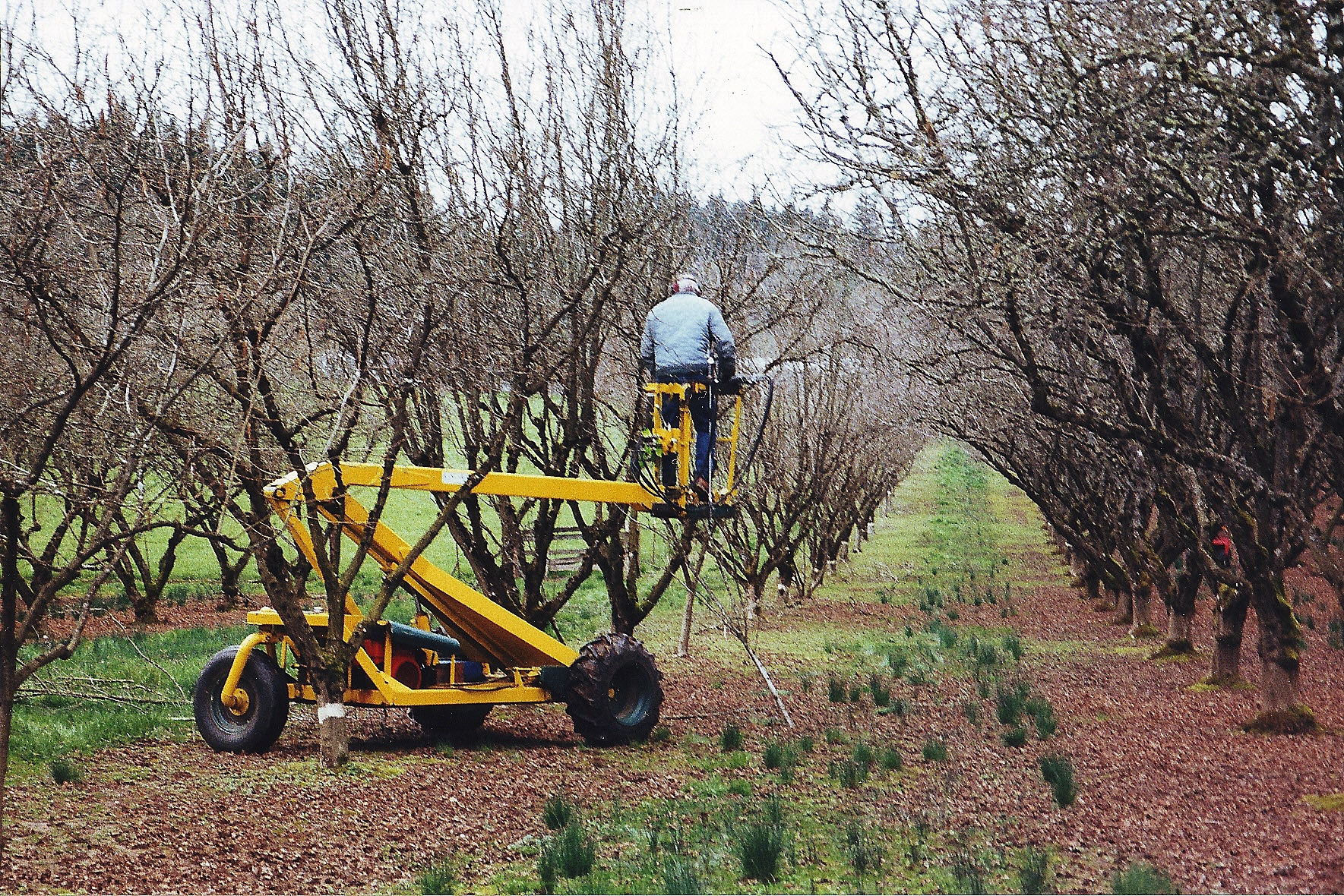 Spring in the orchards oregon hazelnut industry - Spring trimming orchard trees healthy ...